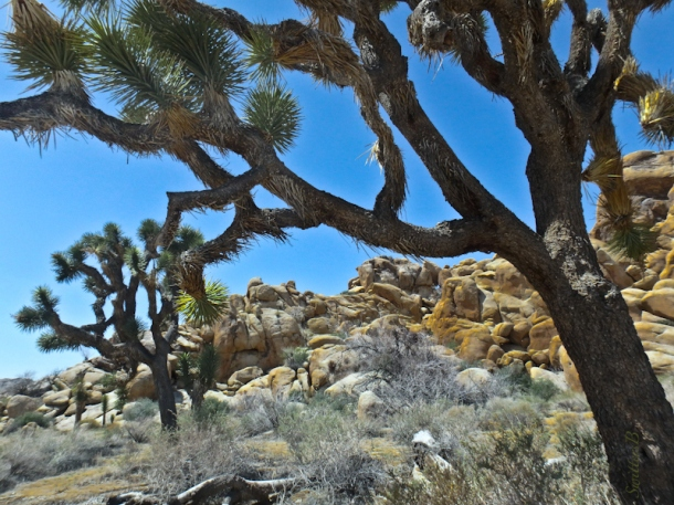 joshua tree, california, mojave desert, SwittersB