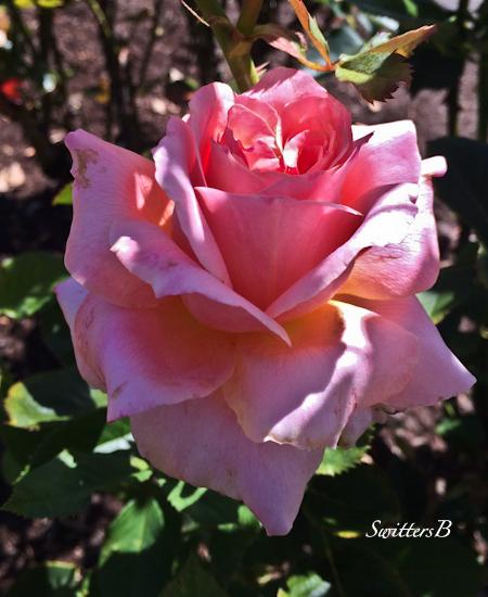 morning light-rose-beauty-garden-SwittersB