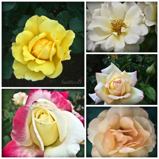 roses-collage-backyard-SwittersB-Portland