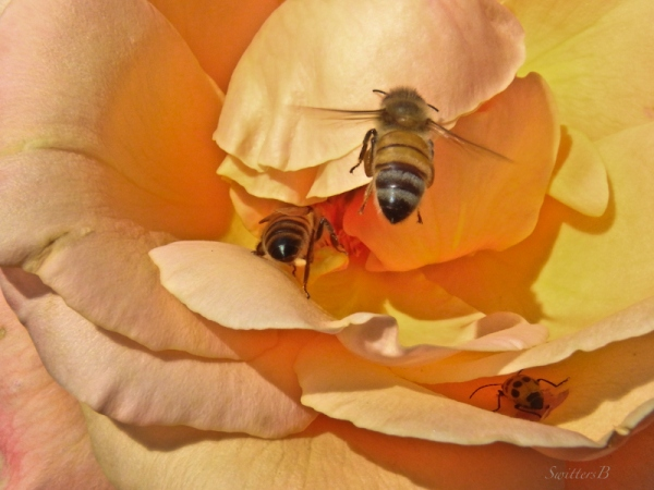 honey bees, rose, SwittersB