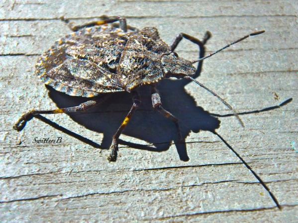 Asian Stink Bug-Invasive-Nuisance-Garden-SwittersB
