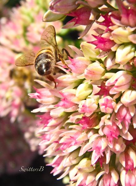 Bee Wings-Sedum-SwittersB