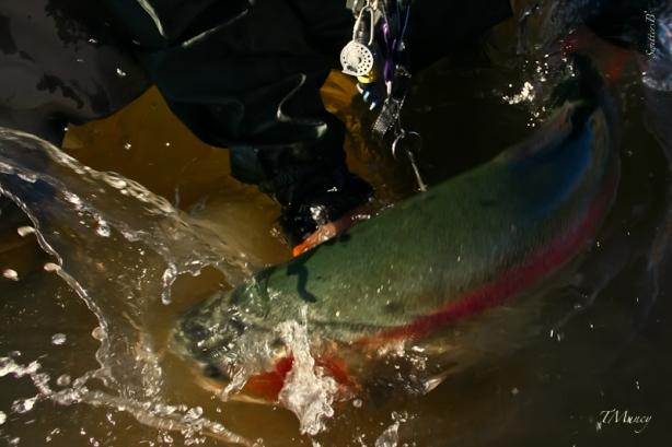 Big Fish-Thrashing-SwittersB-TMuncy-Oregon