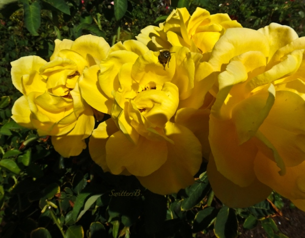 yellow roses-bee-SwittersB