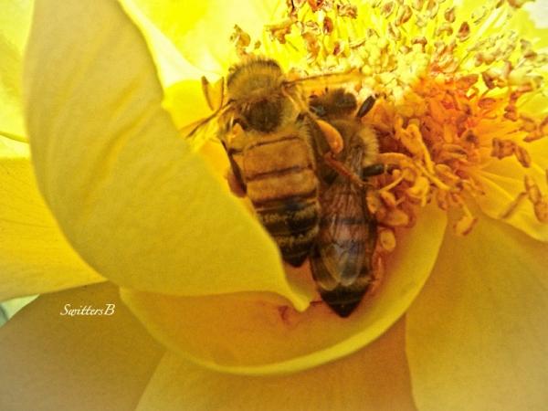 Bzzzz, Bees, Roses, Macro, SwittersB