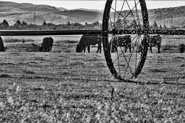 cattle-irrigation-Wamic-Oregon-Tony Muncy-SwittersB