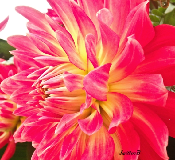 Dahlia-side view-bloom-SwittersB