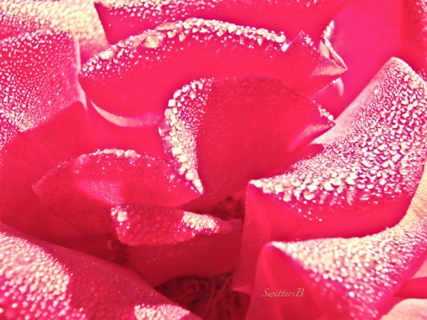 Dew drops, Diamonds, Rose, Petals, SwittersB