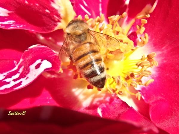 Honey Bee wings-rose-SwittersB