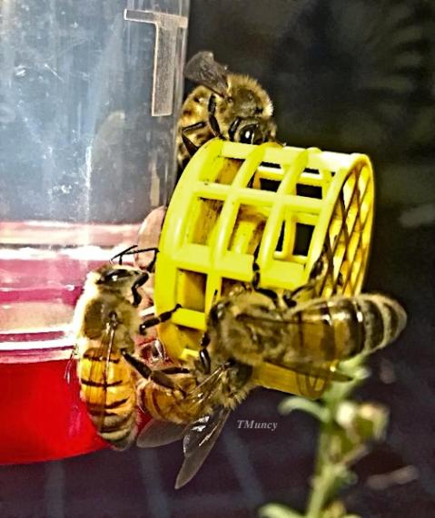 honey bees-HBird feeder-TMuncy-SwittersB
