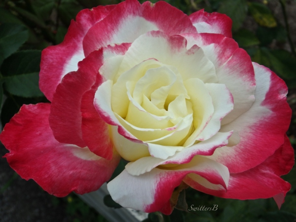 rose-lips-SwittersB
