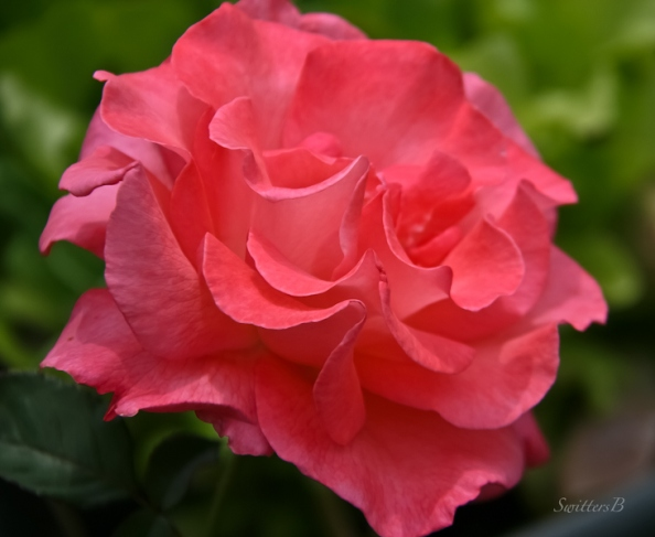 lovely dark pink rose-photo-SwittersB-Portland