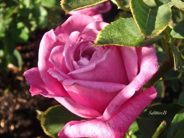 morning dew-rose-light-SwittersB