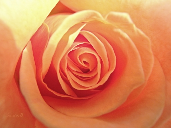 Spiral Rose-Neverending love-rose-photo-SwittersB