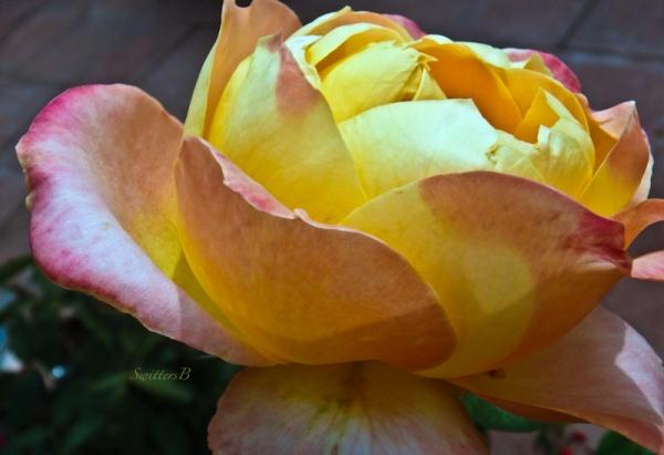 rose-side view-petals-SwittersB