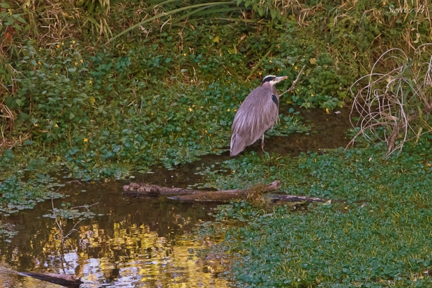 blue heron-bird-pond-SwittersB