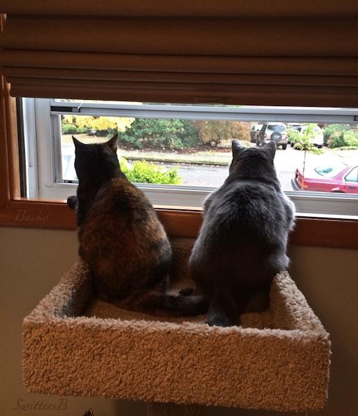 cats-window-curious-Bucky-SwittersB