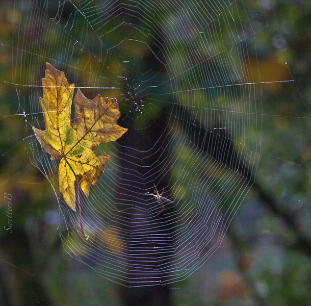 leaf-web-spider-Salmon R.-SwittersB