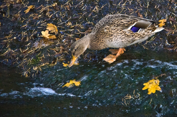 Mallard Duck-female-drinking-Oregon-SwittersB