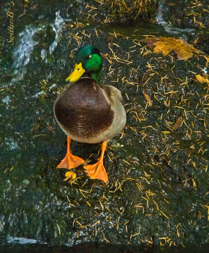 mallard male-duck-Oregon-SwittersB