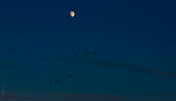moon-geese-flight-flock-leaders-SwittersB