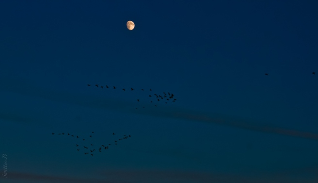moon-geese-flight-flock-leaders-SwittersB