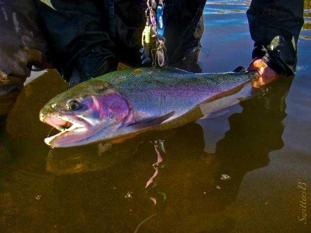 swittersb--rainbow trout-tony muncy-SwittersB-Oregon