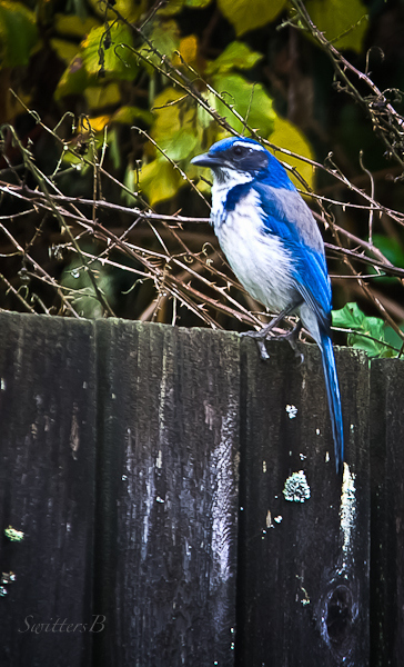western scrub jay--bird-Oregon-SwittersB
