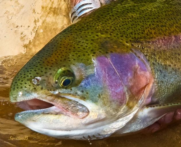 Big 'bow-trout-Oregon-SwittersB