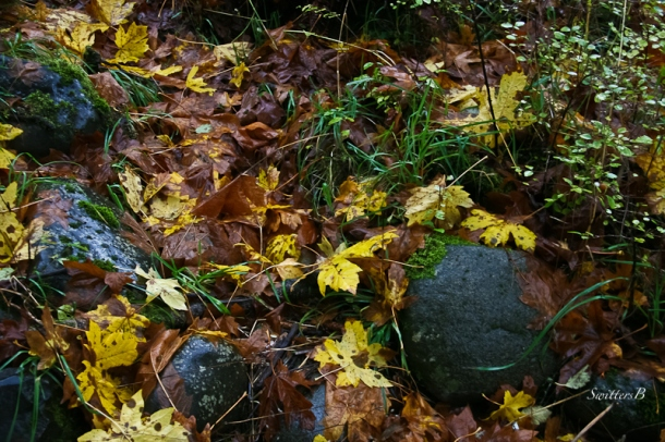 maple leaves-wet-rocks-Fall-SwittersB