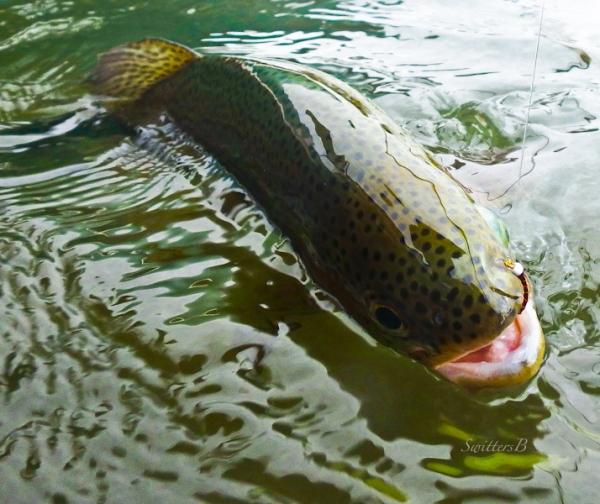 rainbow trout-midge-hooked-SwittersB