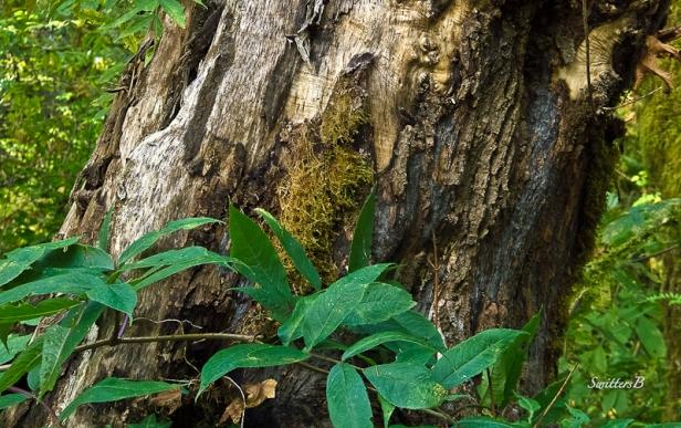 old tree-scarred-old skin-SwittersB