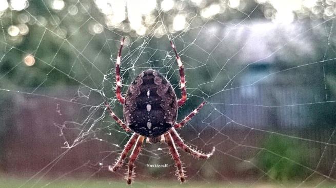 orb spider-sb