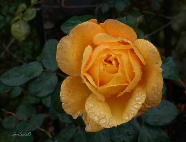 pop the cork-rose-November-SwittersB