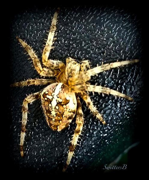 spider-orb weaver-Oregon-SwittersB