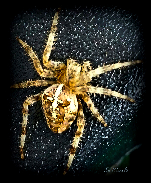 spider-orb weaver-Oregon-SwittersB