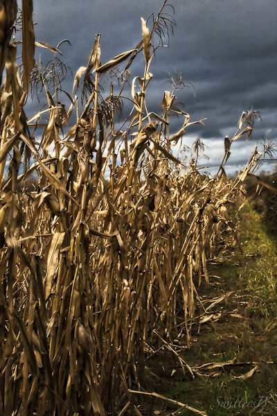 cornstalks-Fall-harvest-farm-SwittersB