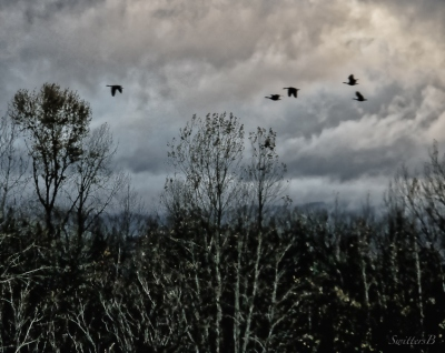 Geese in flight-Oregon-SwittersB
