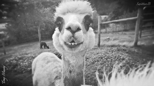 llama-farm-Tony Muncy-SwittersB