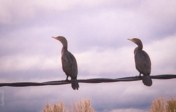 two birds-wire-Linnton-SwittersB
