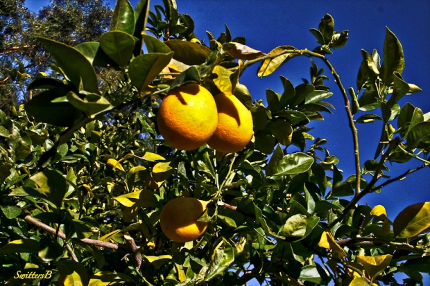 Lemon tree-California-SwittersB-2