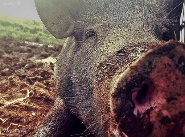 pig-farm-Oregon-T Muncy-SwittersB