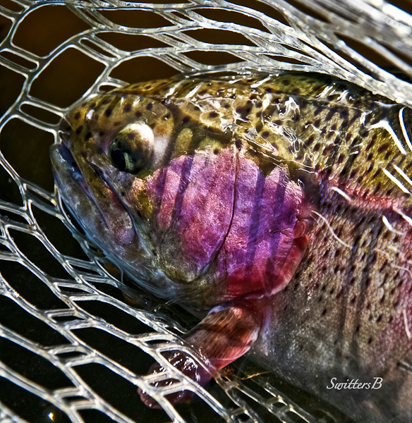 trout-net-flyfishing_HDR-3