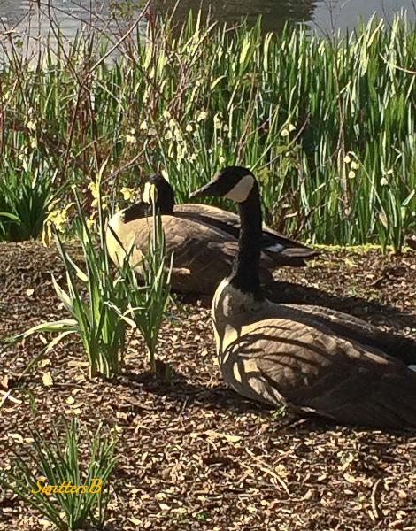 geese-lakeside-rhody garden-SwittersB