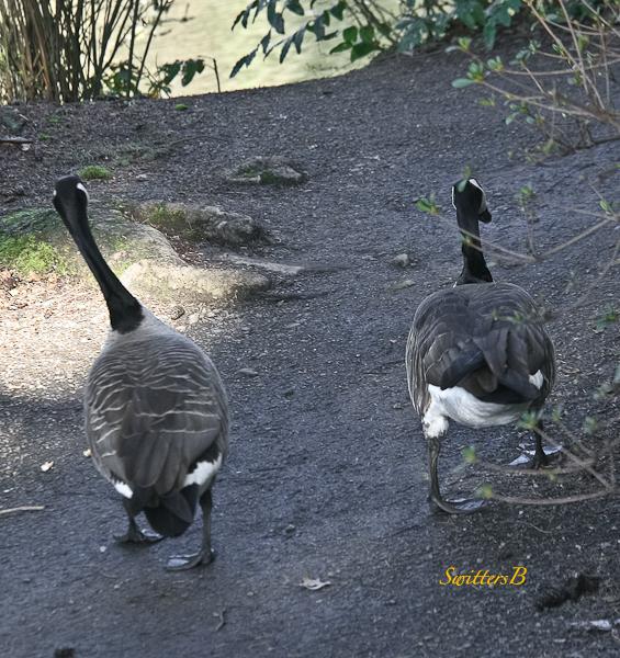 geese pair-rhody garden-SwittersB