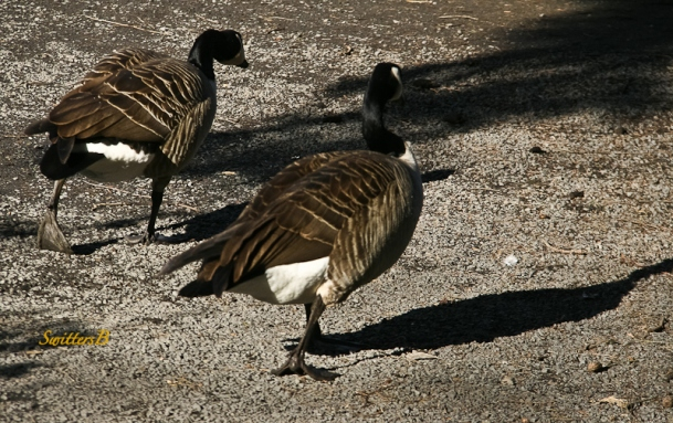 geese pair-strolling-rhody garden-SwittersB