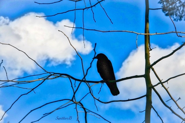 Spring-Crow-branches-sky-SwittersB-3_HDR