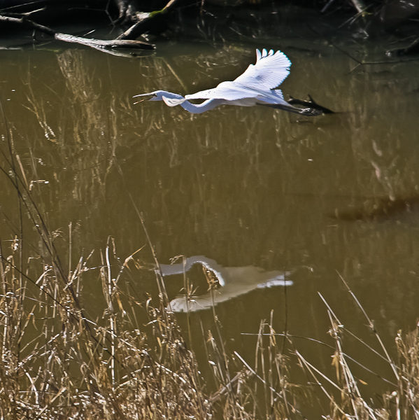 white egret-Oregon-Sauvie Island-SwittersB