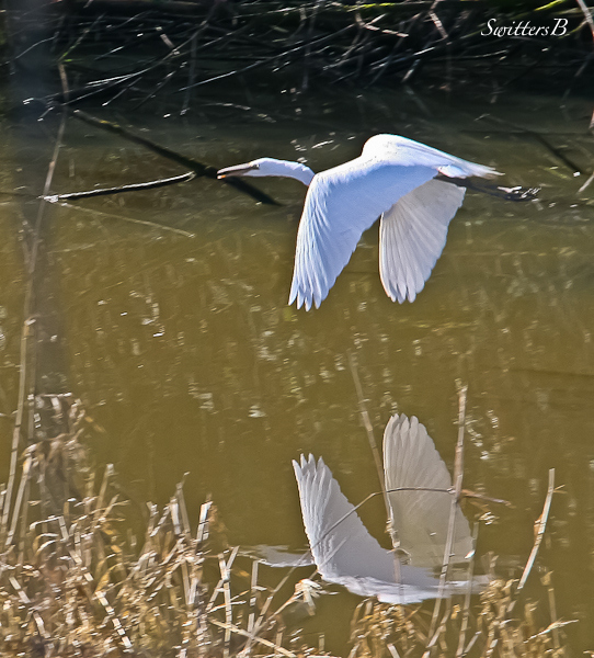 white egret-Sauvie Island-Oregon-SwittersB