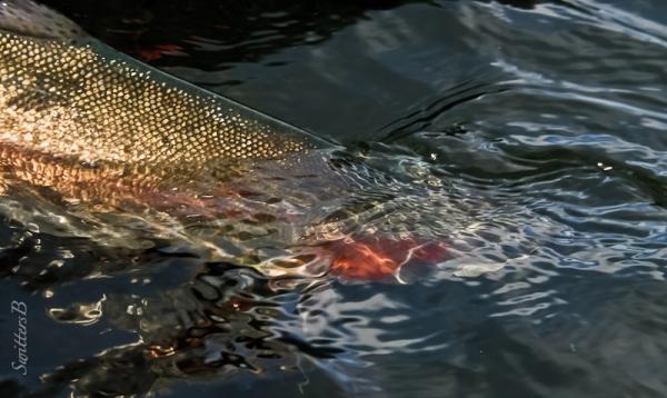 big trout release-Oregon-SwittersB